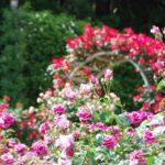 霊山寺のバラとカフェ
