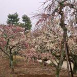 梅が見頃(薬師寺)