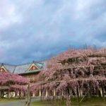 天理教の枝垂れ桜